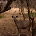 Sambar country: Sariska